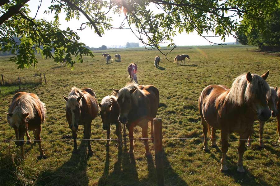Pferde auf West-Rügen