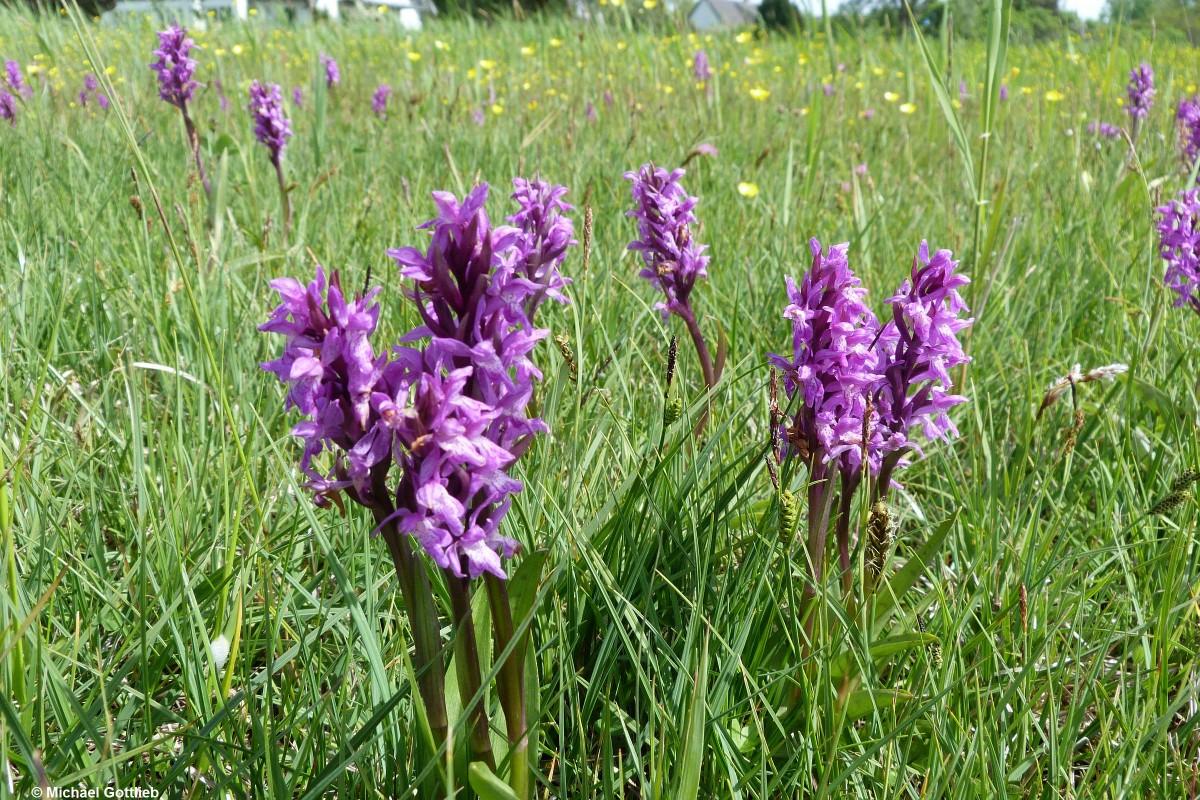 wilde Orchideen bei Middelhagen