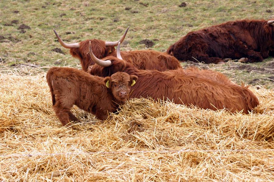 Rinder auf Rügen West