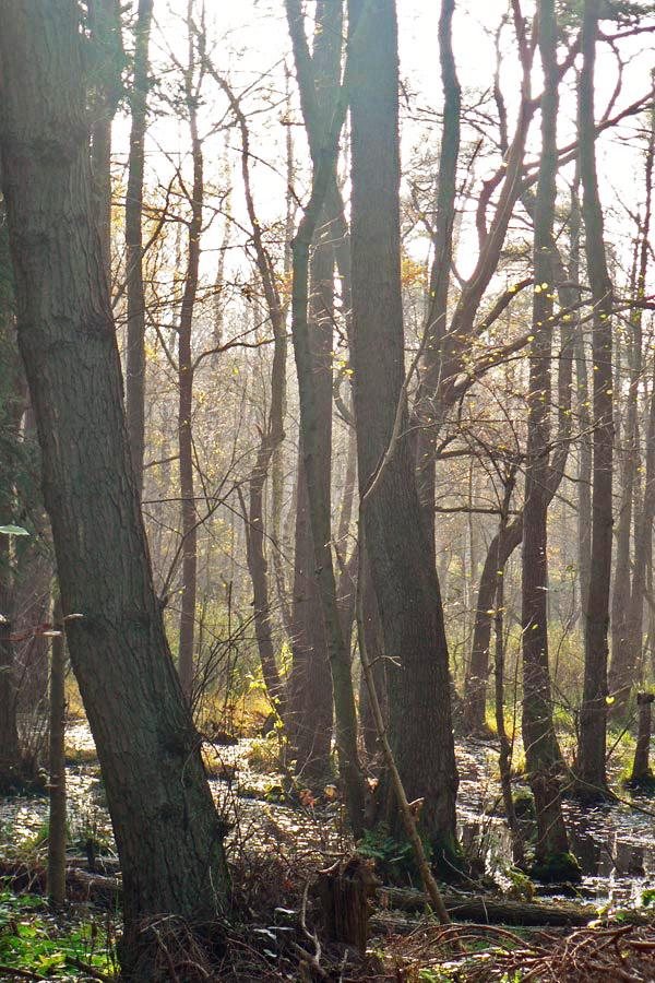 Kieferwälder in der Schmalen Heide